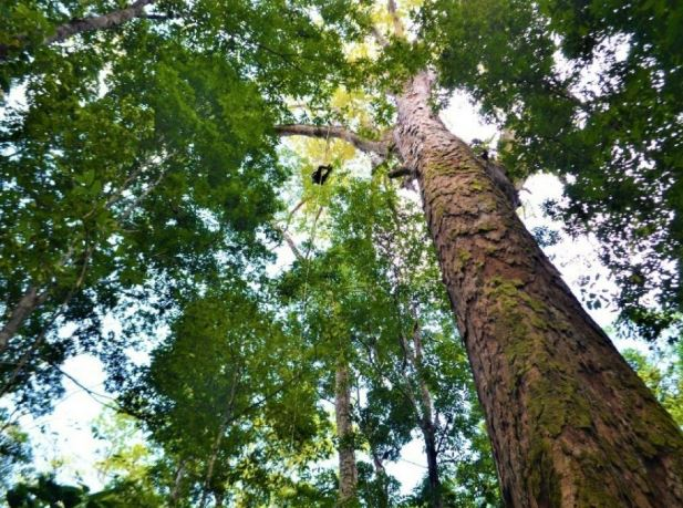 The tallest Amazon tree is not threatened by fires