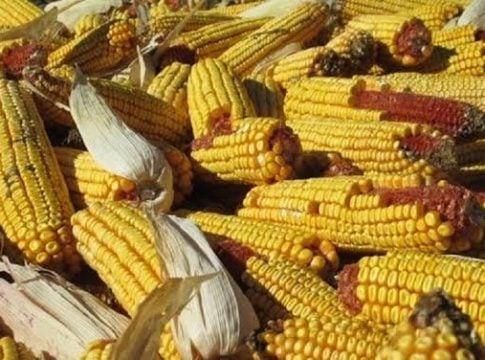 Researchers warn: high ozone is destroying corn crops in India and China